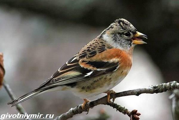 Юрок-птица-Образ-жизни-и-среда-обитания-птицы-юрок-1
