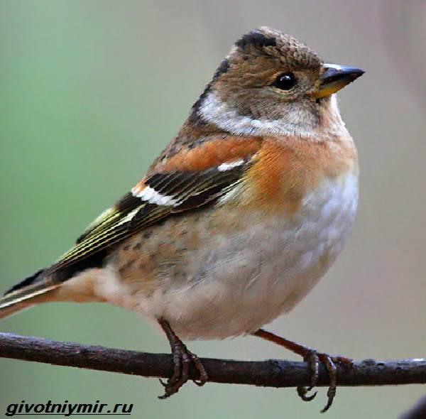 Юрок-птица-Образ-жизни-и-среда-обитания-птицы-юрок-2
