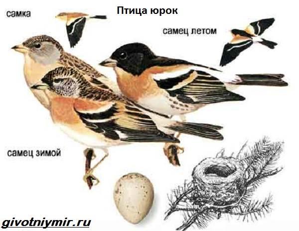 Юрок-птица-Образ-жизни-и-среда-обитания-птицы-юрок-3