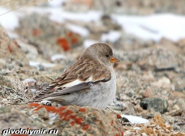 Юрок-птица-Образ-жизни-и-среда-обитания-птицы-юрок-4