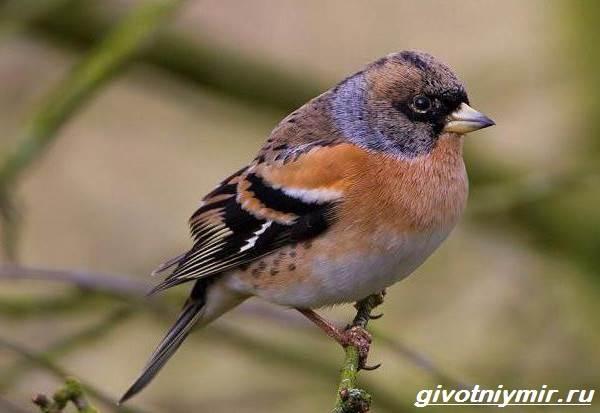 Юрок-птица-Образ-жизни-и-среда-обитания-птицы-юрок-5