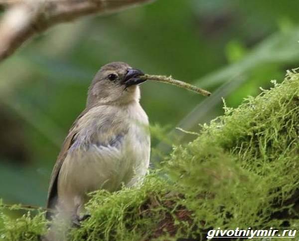 Юрок-птица-Образ-жизни-и-среда-обитания-птицы-юрок-7