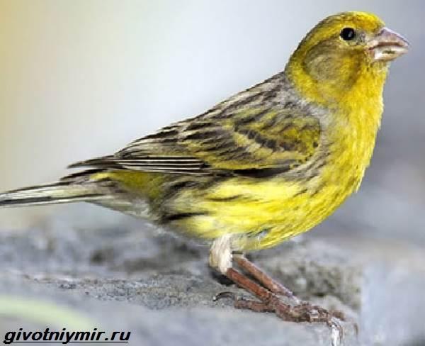Юрок-птица-Образ-жизни-и-среда-обитания-птицы-юрок-8
