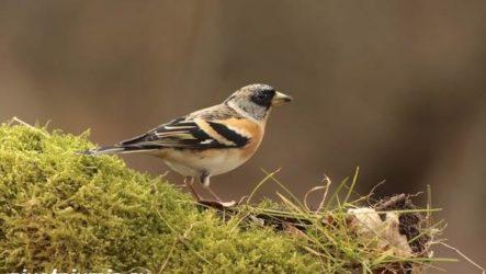 Юрок птица. Образ жизни и среда обитания птицы юрок