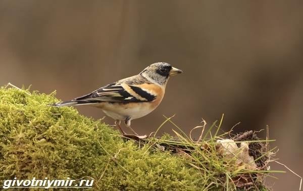 Юрок-птица-Образ-жизни-и-среда-обитания-птицы-юрок-9
