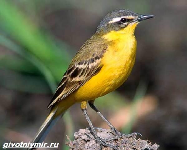 Желтая-трясогузка-птица-Образ-жизни-и-среда-обитания-желтой-трясогузки-1