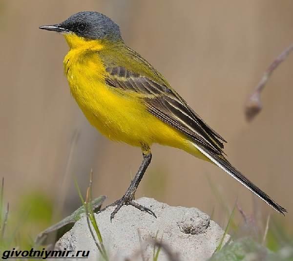 Желтая-трясогузка-птица-Образ-жизни-и-среда-обитания-желтой-трясогузки-2