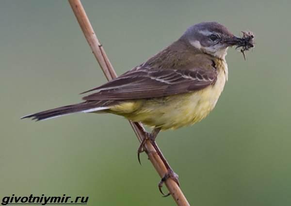 Желтая-трясогузка-птица-Образ-жизни-и-среда-обитания-желтой-трясогузки-3