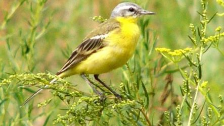 Желтая трясогузка птица. Образ жизни и среда обитания желтой трясогузки