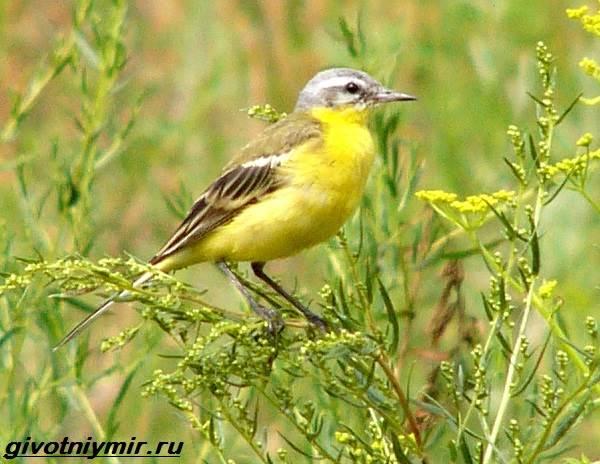 Желтая-трясогузка-птица-Образ-жизни-и-среда-обитания-желтой-трясогузки-4