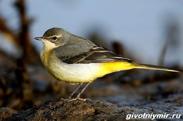 Желтая-трясогузка-птица-Образ-жизни-и-среда-обитания-желтой-трясогузки-5