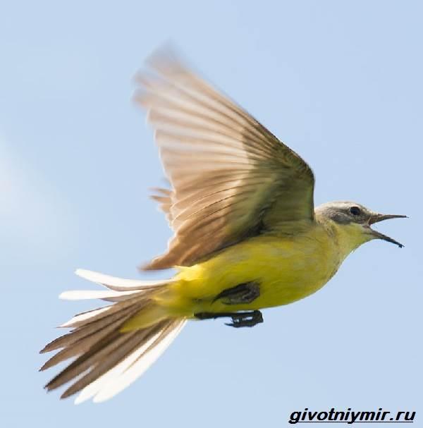 Желтая-трясогузка-птица-Образ-жизни-и-среда-обитания-желтой-трясогузки-6