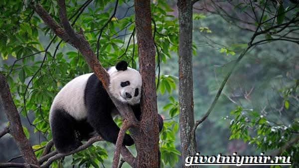 Животные-Китая-Описания-названия-и-особенности-животных-Китая-1