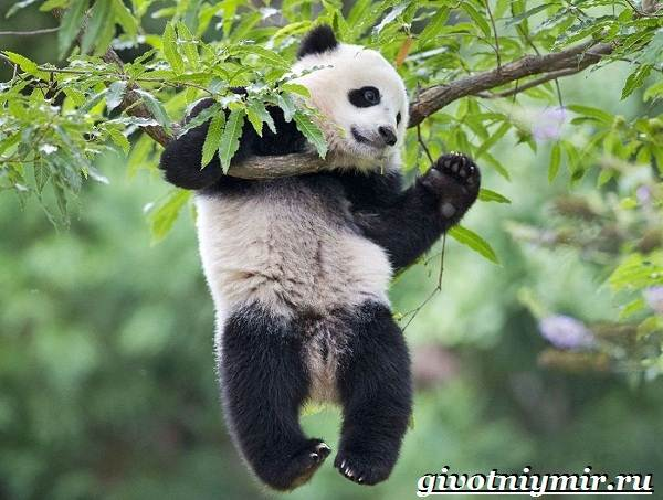 Животные-Китая-Описания-названия-и-особенности-животных-Китая-7