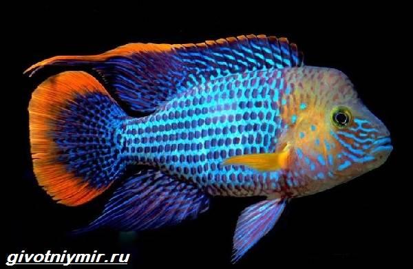 Акара-рыбка-Описание-особенности-виды-и-цена-акары-1