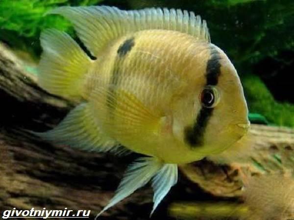 Акара-рыбка-Описание-особенности-виды-и-цена-акары-15
