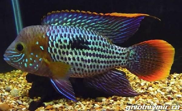 Акара-рыбка-Описание-особенности-виды-и-цена-акары-2