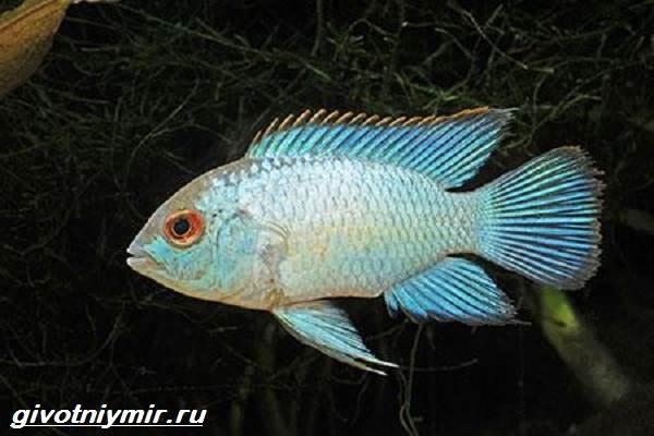 Акара-рыбка-Описание-особенности-виды-и-цена-акары-3