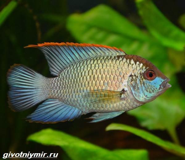 Акара-рыбка-Описание-особенности-виды-и-цена-акары-4
