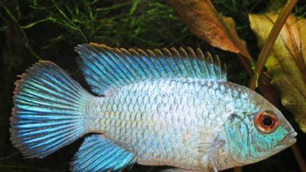 Акара рыбка. Описание, особенности, виды и цена акары