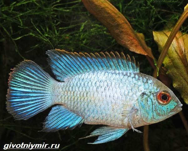 Акара-рыбка-Описание-особенности-виды-и-цена-акары-5