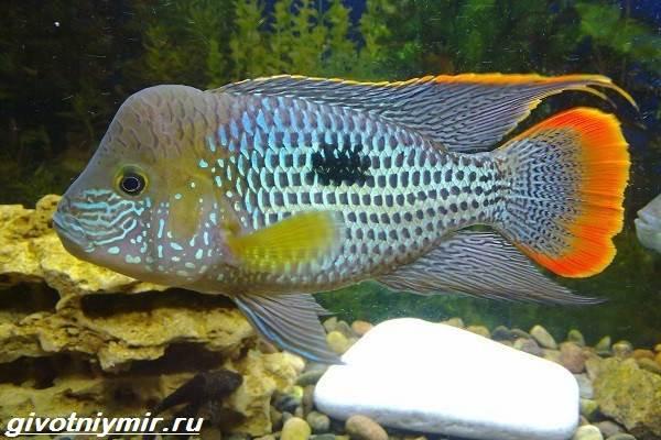 Акара-рыбка-Описание-особенности-виды-и-цена-акары-6