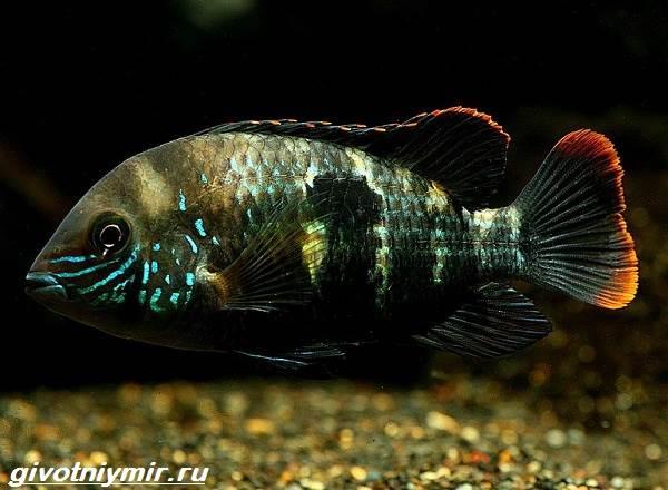 Акара-рыбка-Описание-особенности-виды-и-цена-акары-7