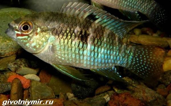 Акара-рыбка-Описание-особенности-виды-и-цена-акары-8