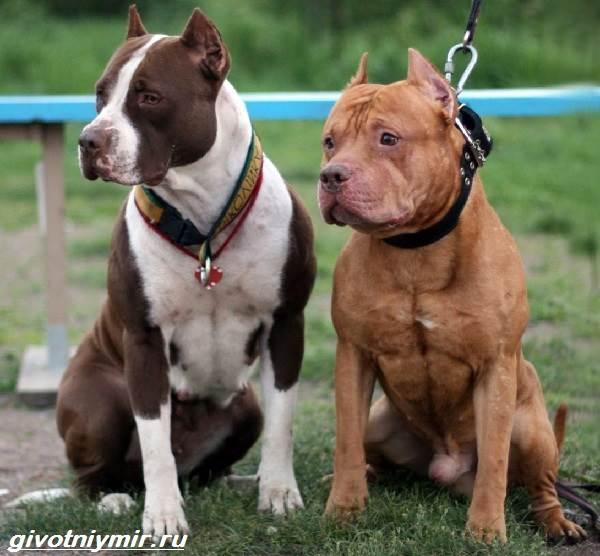 Американский-питбультерьер-собака-Описание-особенности-уход-и-цена-американского-питбультерьера-15