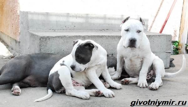 Американский-питбультерьер-собака-Описание-особенности-уход-и-цена-американского-питбультерьера-4