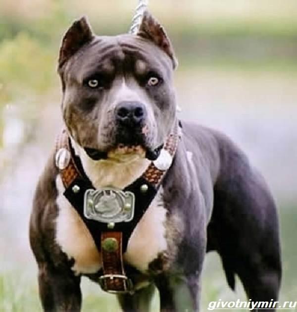 Американский-питбультерьер-собака-Описание-особенности-уход-и-цена-американского-питбультерьера-6