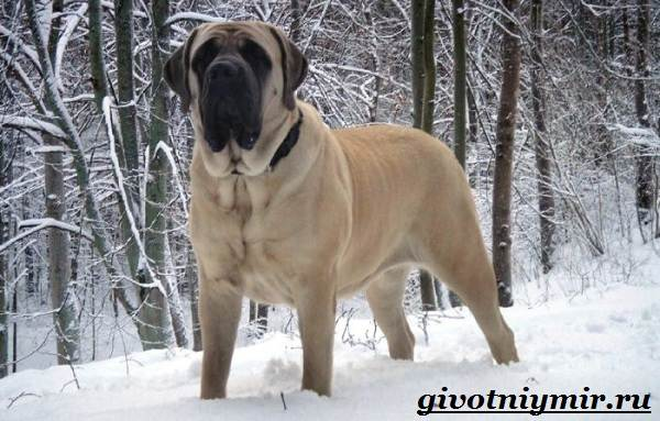 Английский-мастиф-собака-Описание-особенности-уход-и-цена-английского-мастифа-3