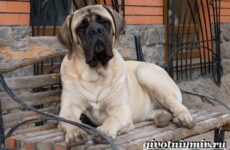 Английский мастиф собака. Описание, особенности, уход и цена английского мастифа