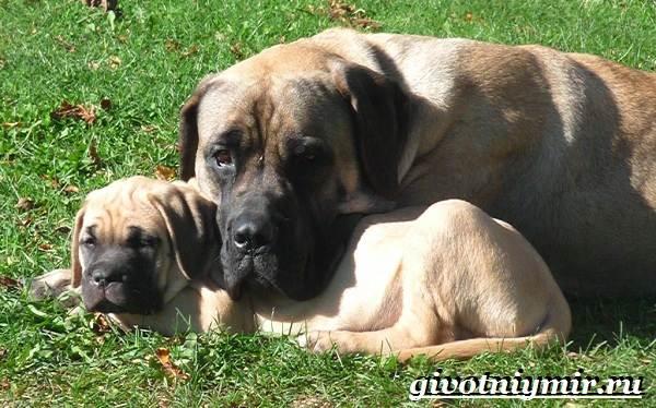 Английский-мастиф-собака-Описание-особенности-уход-и-цена-английского-мастифа-7