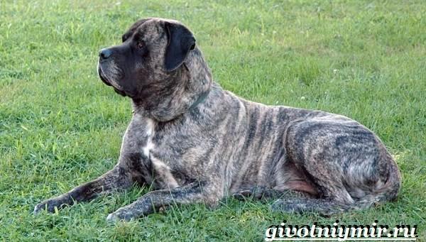 Английский-мастиф-собака-Описание-особенности-уход-и-цена-английского-мастифа-8