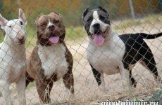 Бойцовские собаки. Описание, названия и особенности бойцовских собак