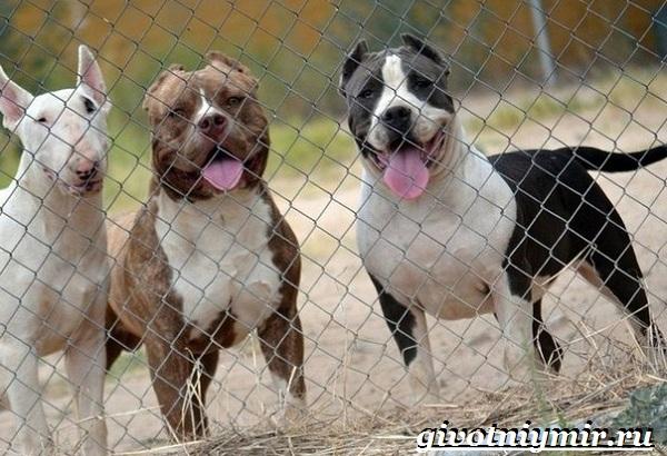 Бойцовские-собаки-Описание-названия-и-особенности-бойцовских-собак-1