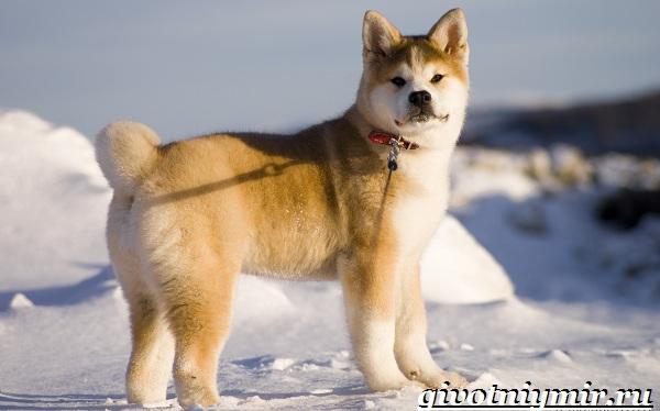 Бойцовские-собаки-Описание-названия-и-особенности-бойцовских-собак-11