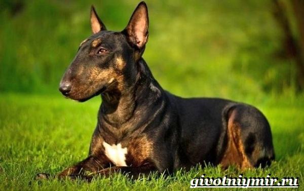 Бойцовские-собаки-Описание-названия-и-особенности-бойцовских-собак-14