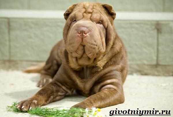 Бойцовские-собаки-Описание-названия-и-особенности-бойцовских-собак-18