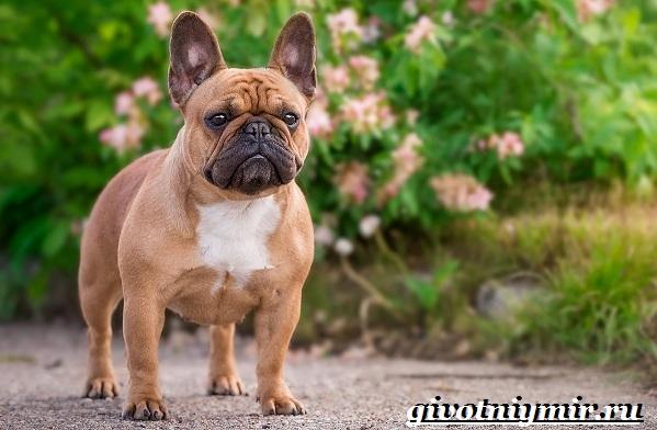 Бойцовские-собаки-Описание-названия-и-особенности-бойцовских-собак-20