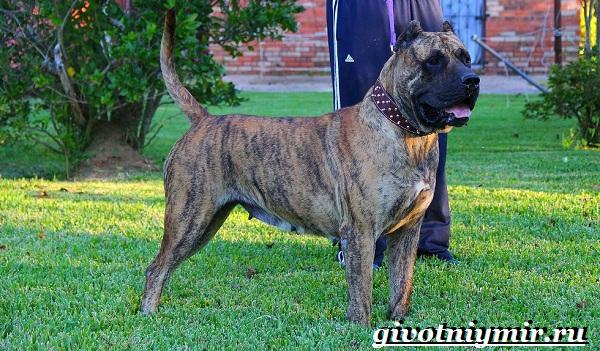 Бойцовские-собаки-Описание-названия-и-особенности-бойцовских-собак-21