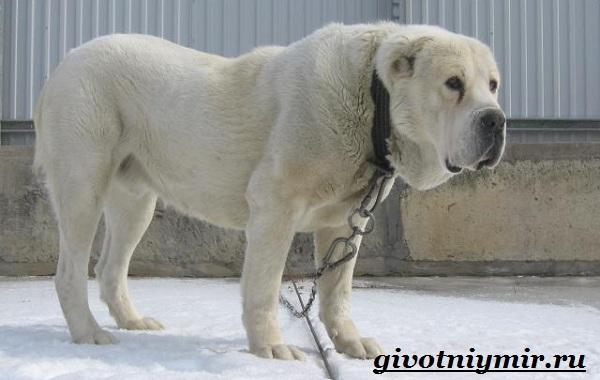 Бойцовские-собаки-Описание-названия-и-особенности-бойцовских-собак-3