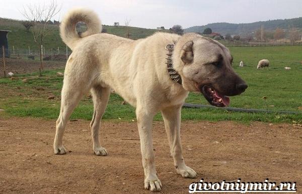 Бойцовские-собаки-Описание-названия-и-особенности-бойцовских-собак-4