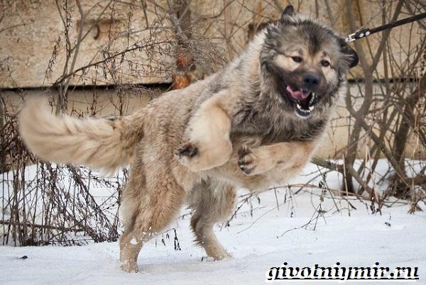 Бойцовские-собаки-Описание-названия-и-особенности-бойцовских-собак-5