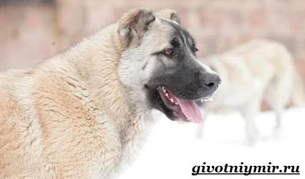 Бойцовские-собаки-Описание-названия-и-особенности-бойцовских-собак-6