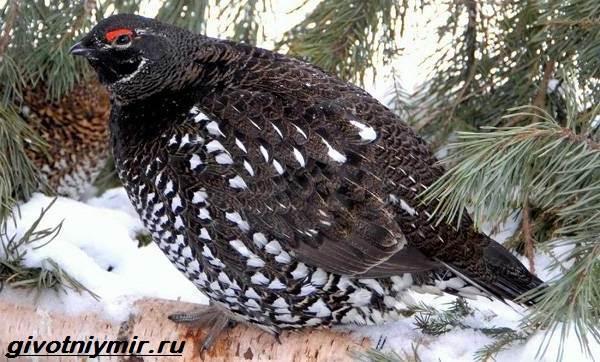 Дикуша-птица-Образ-жизни-и-среда-обитания-птицы-дикуши-1