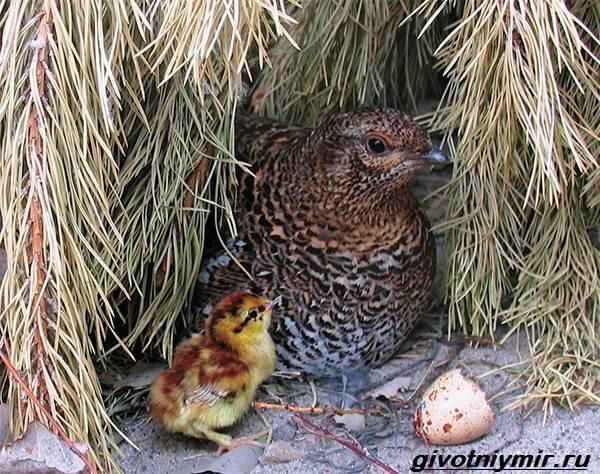 Дикуша-птица-Образ-жизни-и-среда-обитания-птицы-дикуши-5