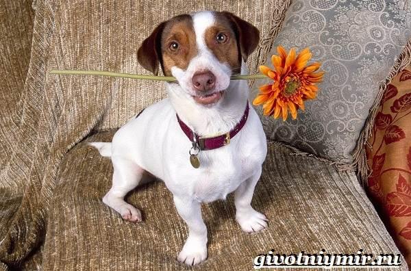 Джек-рассел-терьер-собака-Описание-особенности-уход-и-цена-Джек-Рассел-терьера-1