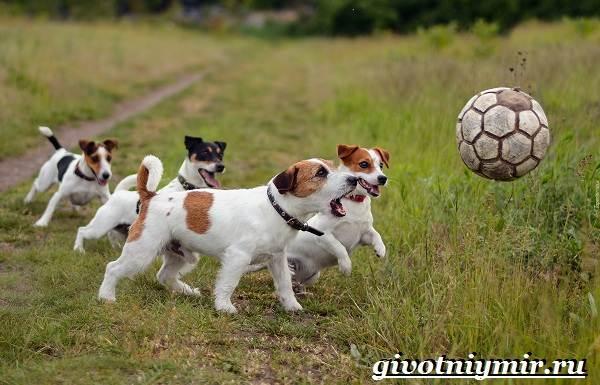 Джек-рассел-терьер-собака-Описание-особенности-уход-и-цена-Джек-Рассел-терьера-10